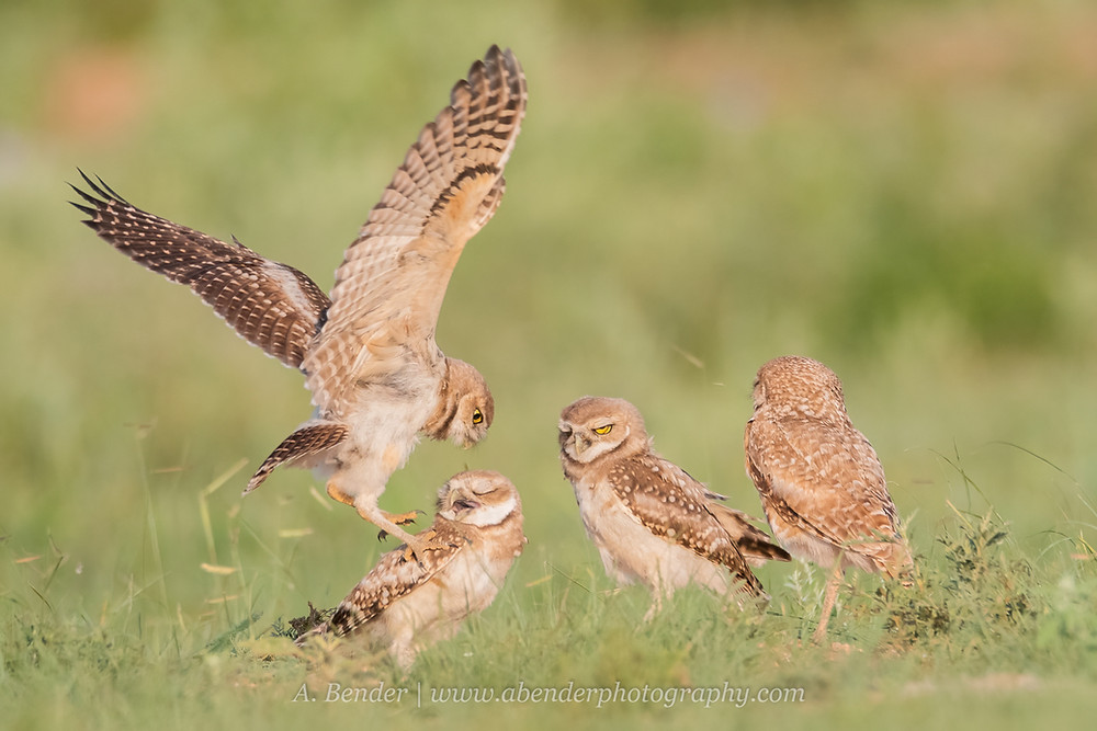 Four burrowing owl fledglings interacting at the burrow during sunset in northern Texas | A Bender Photography LLC