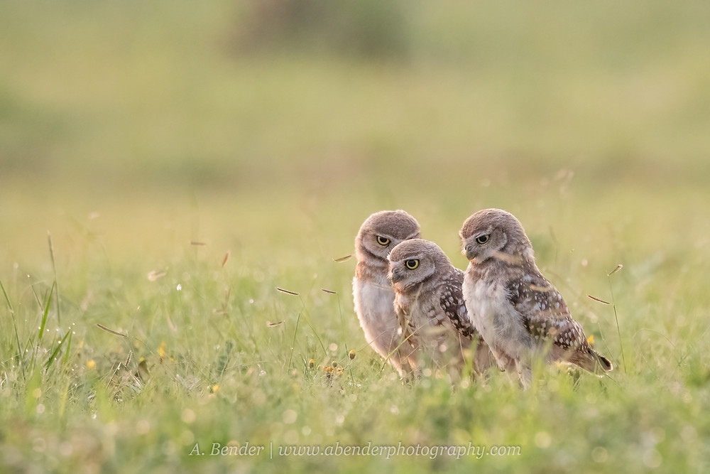 Three young burrowing owl owlet fledglings work as a group to hunt in the morning light in northern Texas | A Bender Photography LLC