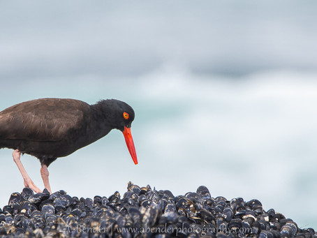 Black Oystercatchers: A Summer Project