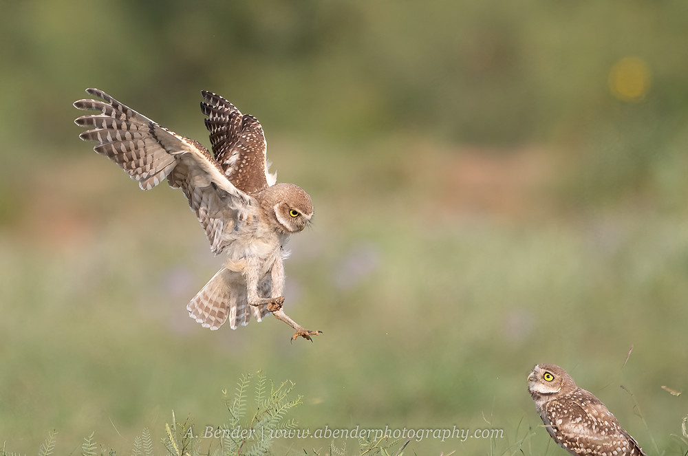 Burrowing owl fledgling landing with rock in talon hunting practice | A Bender Photography LLC