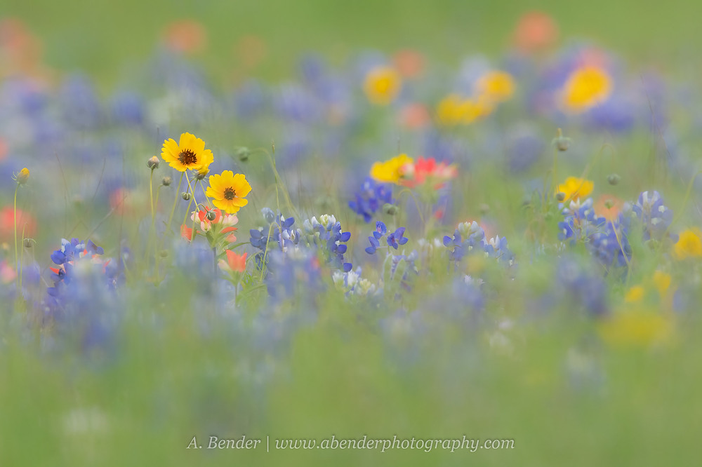 Spring Wildflowers in Central Texas | A Bender Photography LLC
