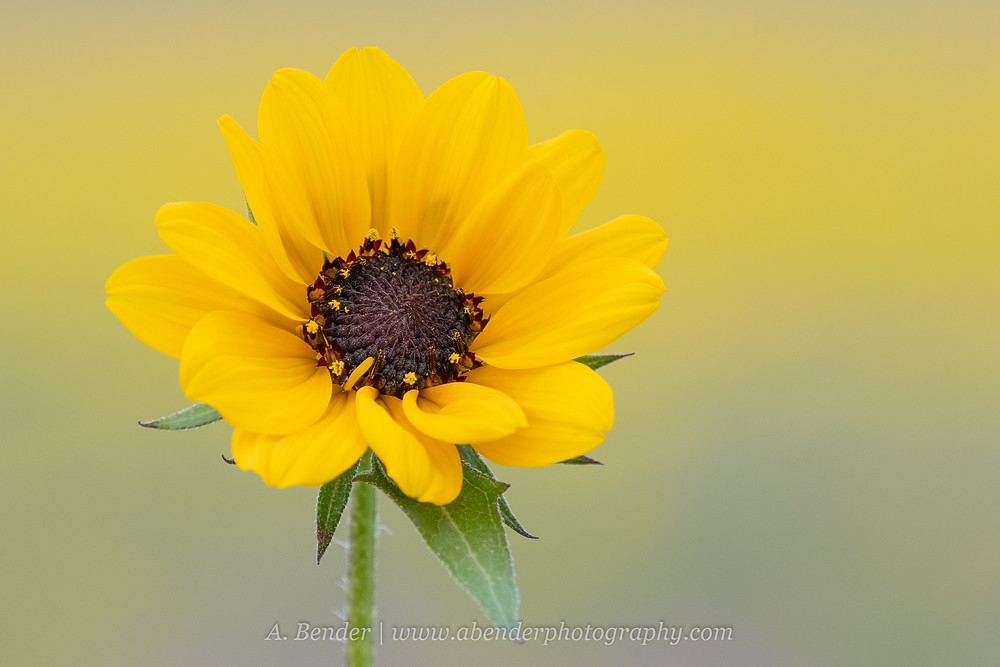 A close up of a single wild sunflower in Texas Hill Country | A Bender Photography LLC