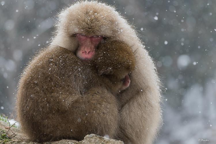 """Monkey Dumpling"" when monkeys cuddle together creating a fluffy mound"