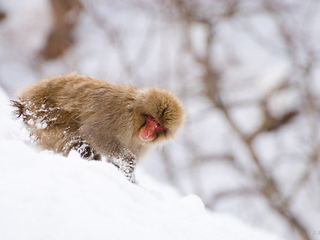 Snow Monkeys in Jigokudani Valley