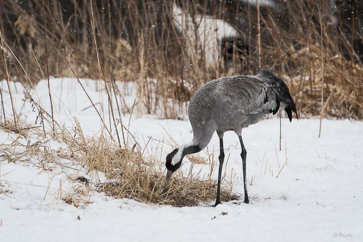 Lone Common Eurasian Crane
