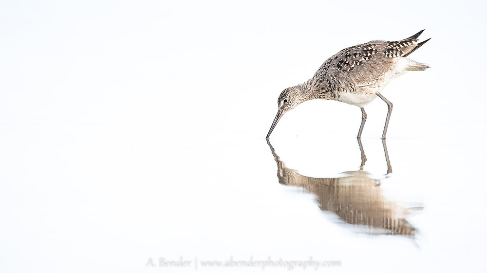 Willet Reflection, Antelope Island State Park