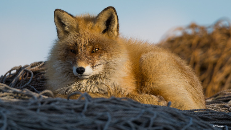 Fox resting on a fishing net stack