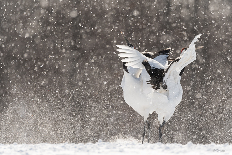Close dancing of a pair of red crowned cranes during backlit snowfall