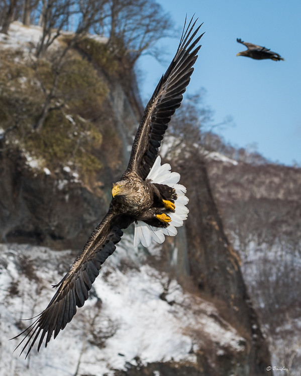White-tail Eagles in flight