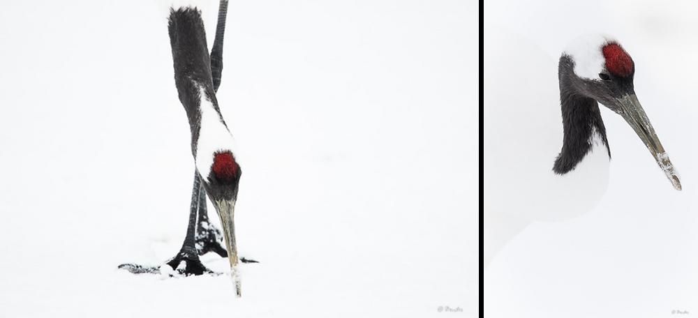 Two head shot portraits of cranes