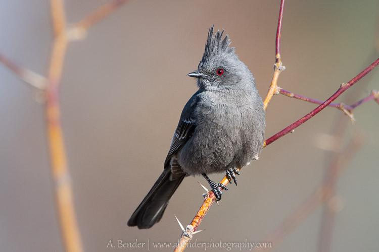 "Female Phainopepla or ""Black Cardinal"" at Floyd Lamb Park"