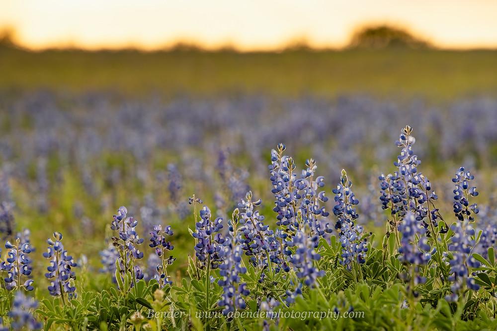 Texas bluebonnets at sunset | A Bender Photography LLC