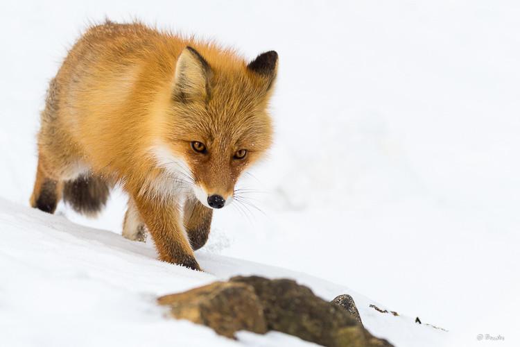 Brave fox