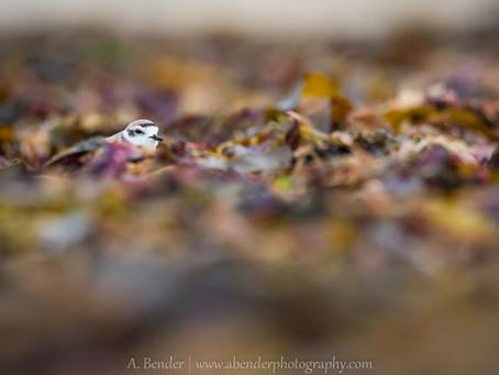 Summer of Shorebirds