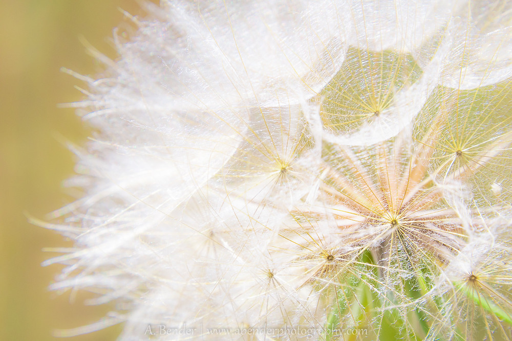 Close up of a dandelion puff ball