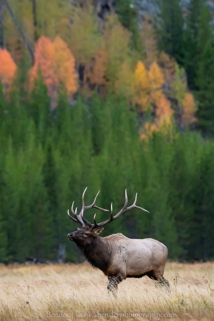 Rocky Mountain elk bull with fall foliage in background