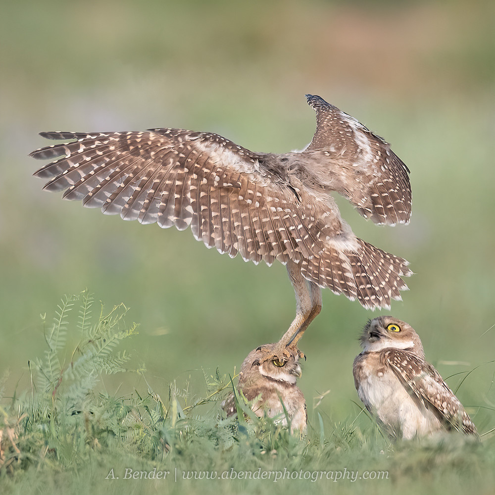 A burrowing owl fledgling flight attacks sibling during hunting practice in northern Texas | A Bender Photography LLC