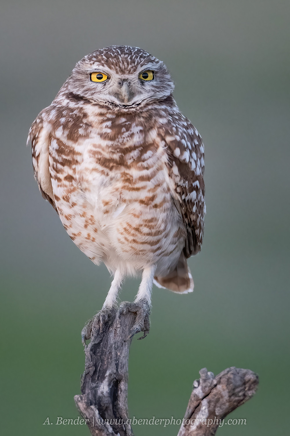 burrowing owl perched on branch at sunset in central Texas | A Bender Photography LLC