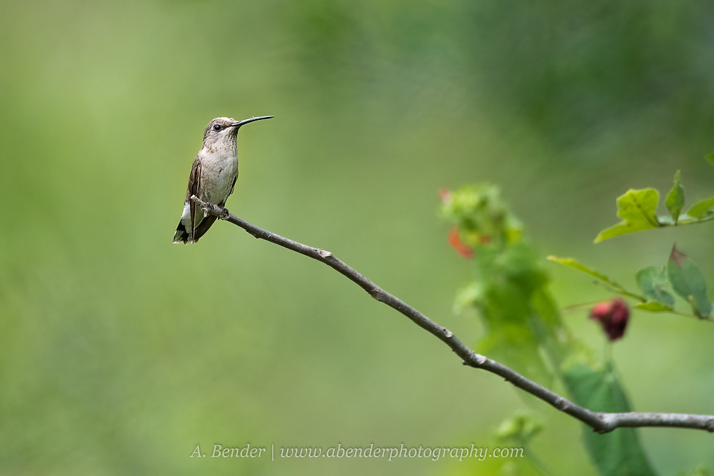 Female Black chin hummingbird sits on a stick in Texas Hill Country   A Bender Photography LLC