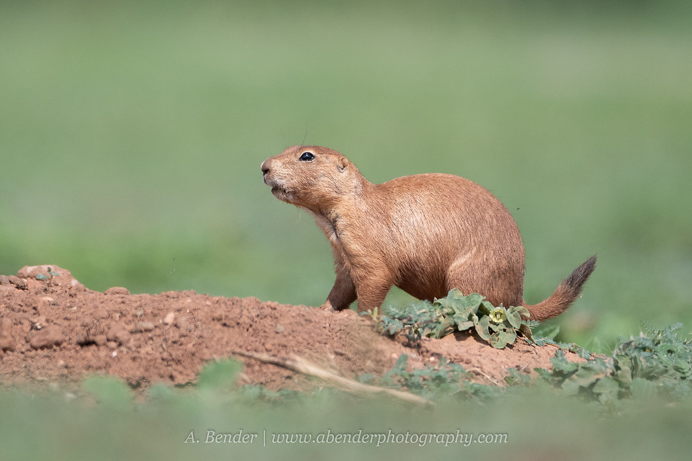 Black tailed prairie dog on burrow mound in northern Texas | A Bender Photography LLC