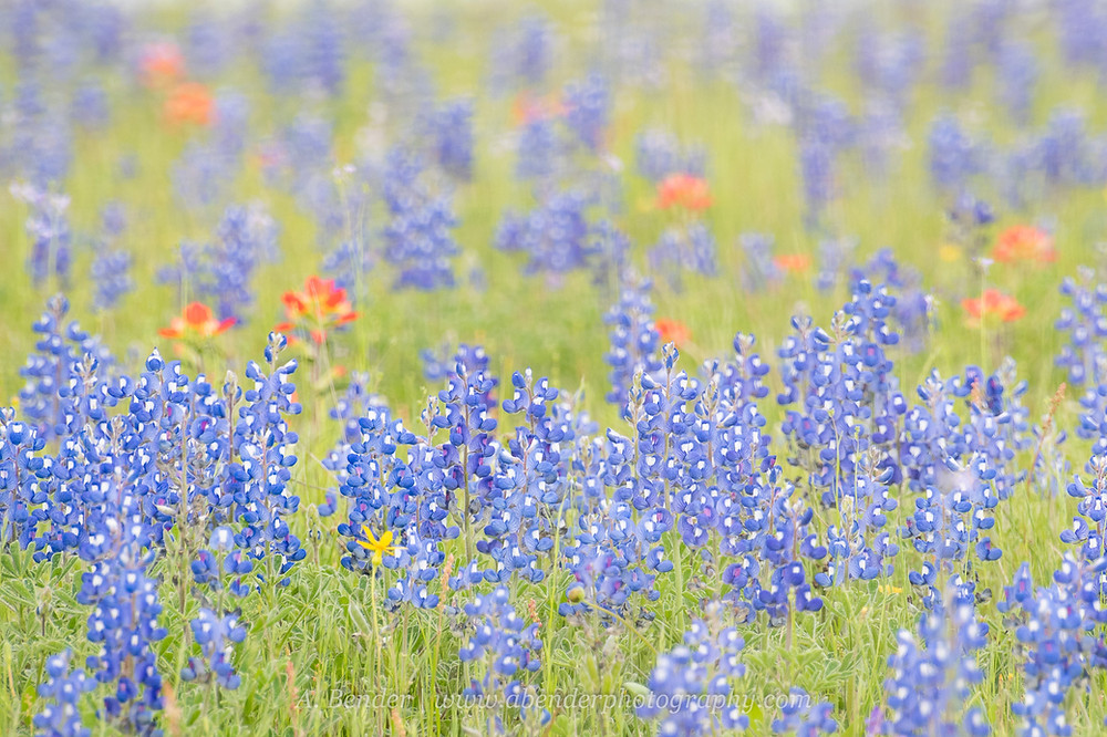 Texas bluebonnets in a field of Spring wildflowers | A Bender Photography LLC