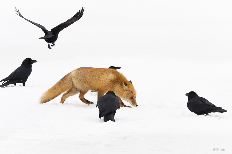 Fox walking through a murder of crows