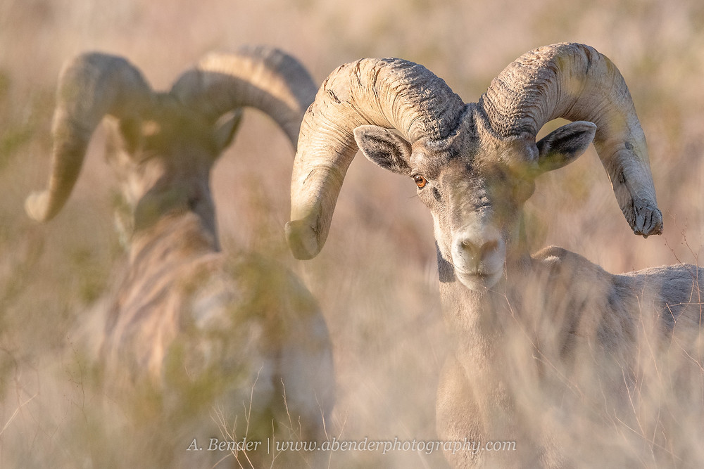 Two large desert bighorn sheep rams one turned away from teh camera and one looking directly at the camera through the Nevada desert brush   A Bender Photography LLC
