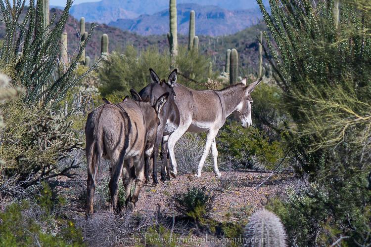 Family Burros, Why, Arizona