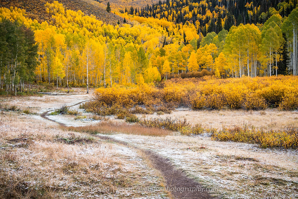 A light cover of snow on the ground, a hiking trail curves around a patch of yellowing bushes and disappears into a forest of bright yellow and green aspens in the Wasatch Mountains Utah | A Bender Photography LLC
