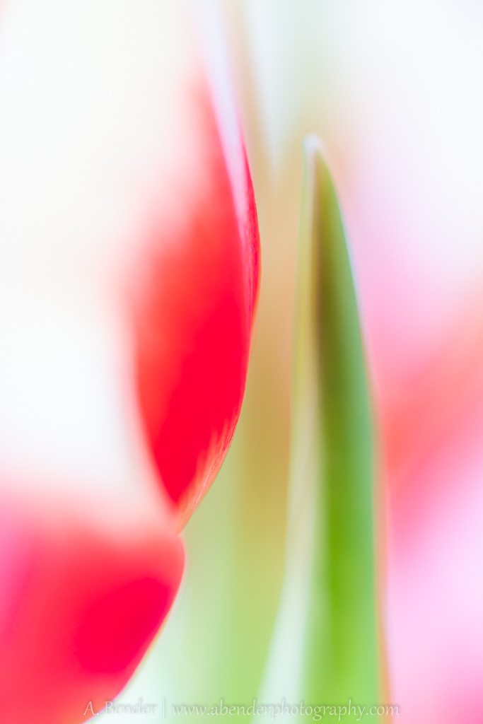 abstract image of tulips, a bender photography
