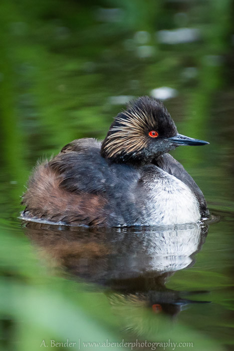 Eared Grebe at Spring Valley