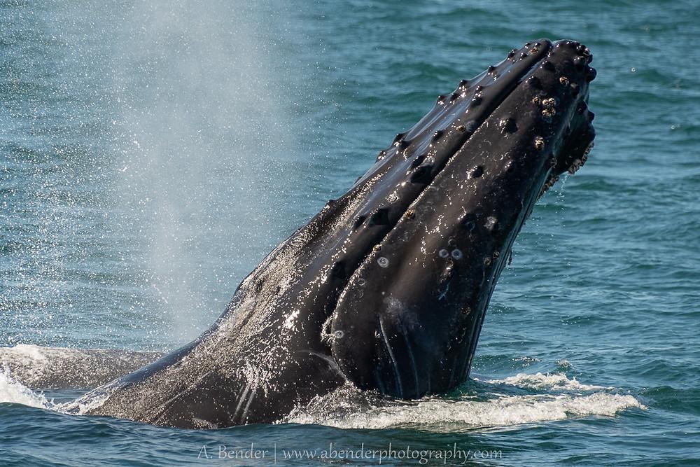 humpback whale chin slapping breaching
