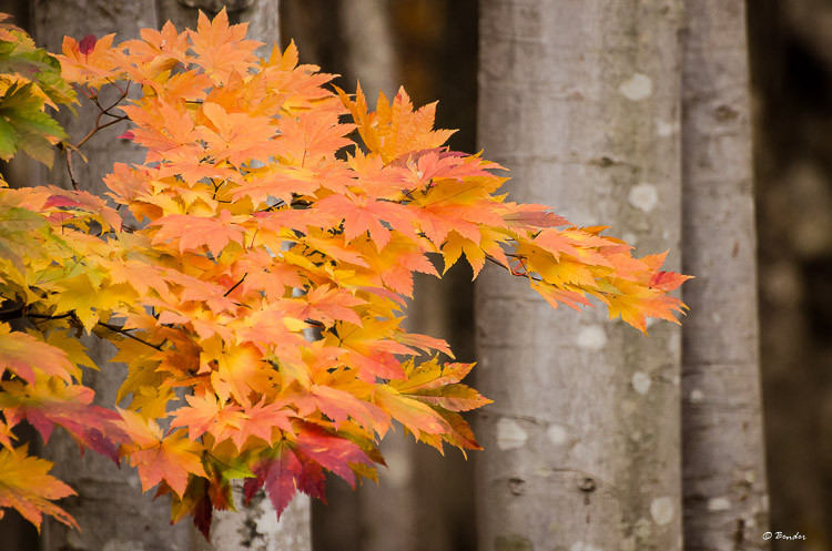 Maple leaves in color against forest background