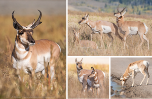 Collage of Pronghorn images