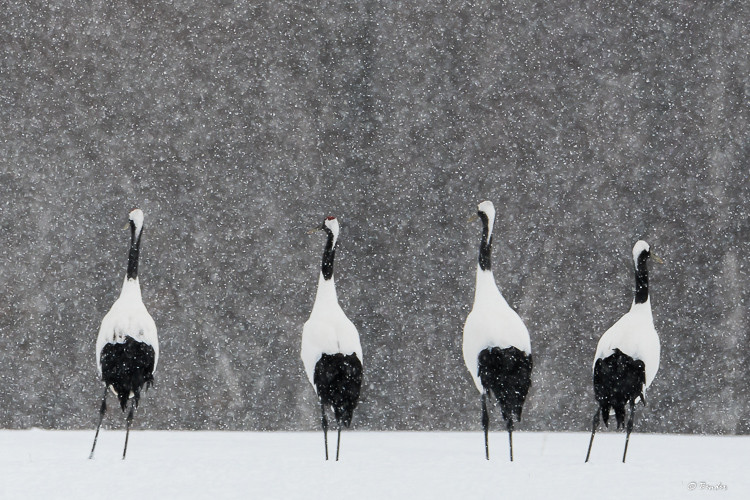 Four cranes in a row in snow fall
