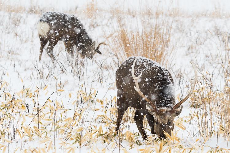 Yezo bucks grazing during a snowstorm
