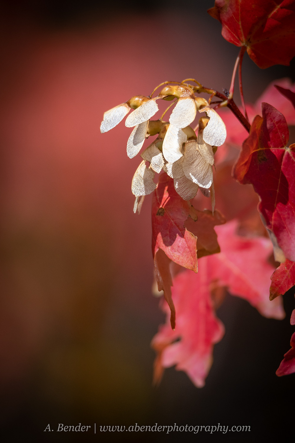 Red maple leaves with white maple seeds with wings hanging from the tip of a branch against a dark background with soft red bokeh Wasatch Mountains Utah autumn 2021 fall foliage | A Bender Photography LLC