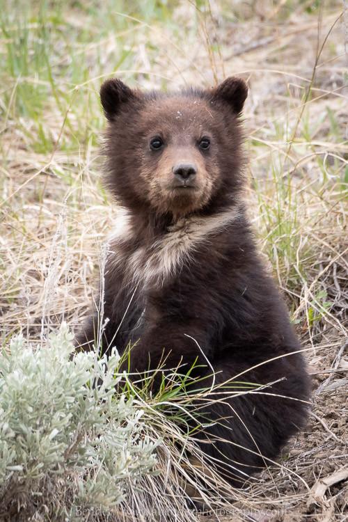 Grizzly cub, Grand Teton