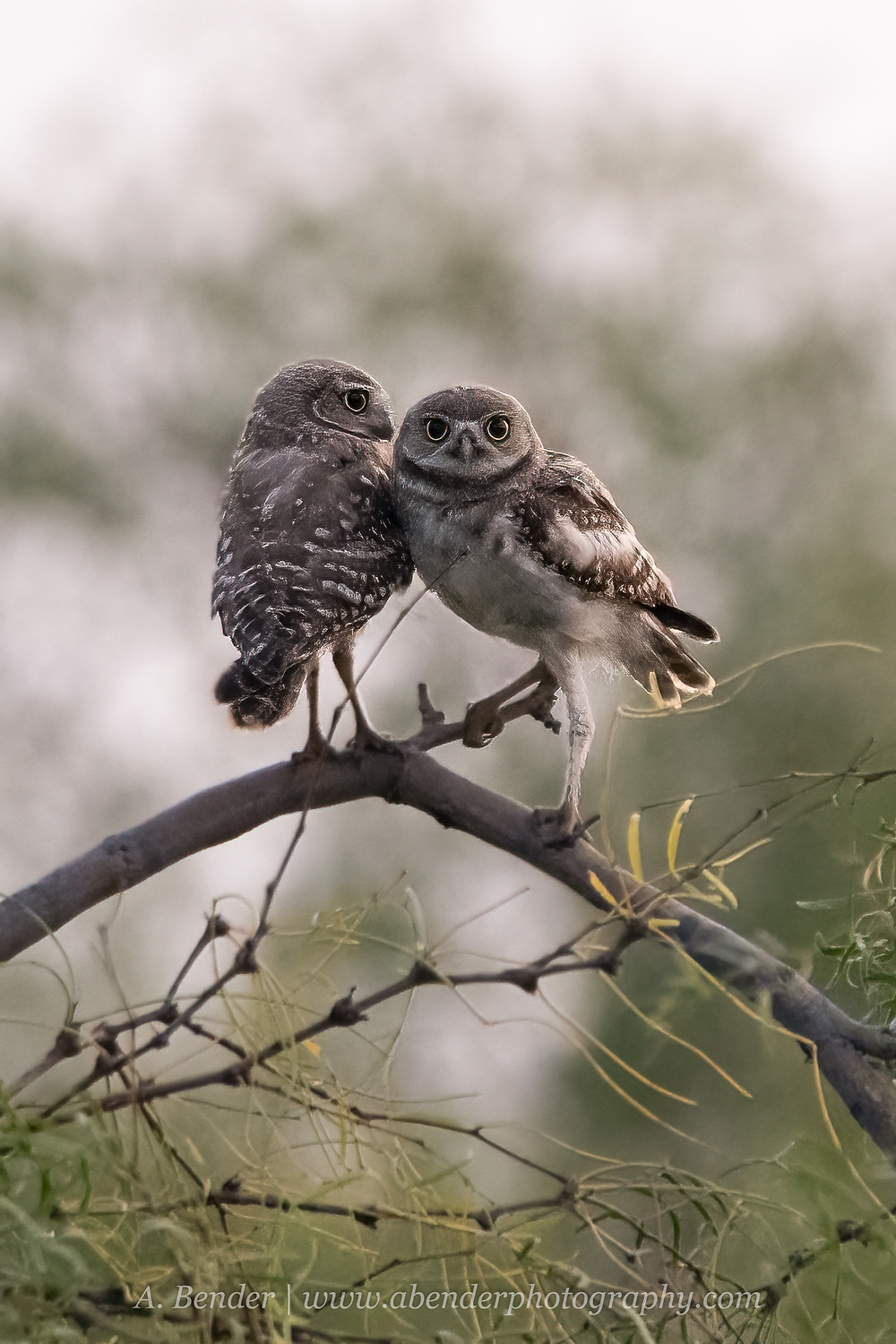 Two burrowing owls stand in a mesquite tree in predawn light in northern Texas | A Bender Photography LLC