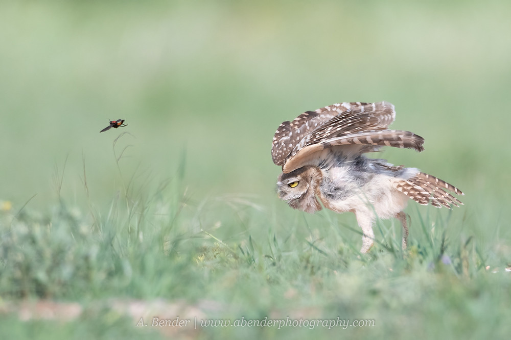 Burrowing Owl threatens a passing bug in flight in northern Texas | A Bender Photography LLC