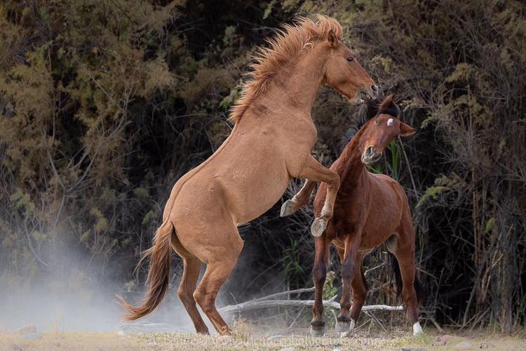 Horse Play II, Salt River Herd, Arizona