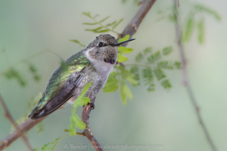 What appears to be a young Costa's Hummingbird at the Henderson Bird Preserve
