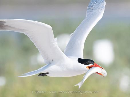 Texas Spring Shorebird Photography