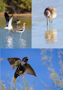 Three images of wading birds in AZ