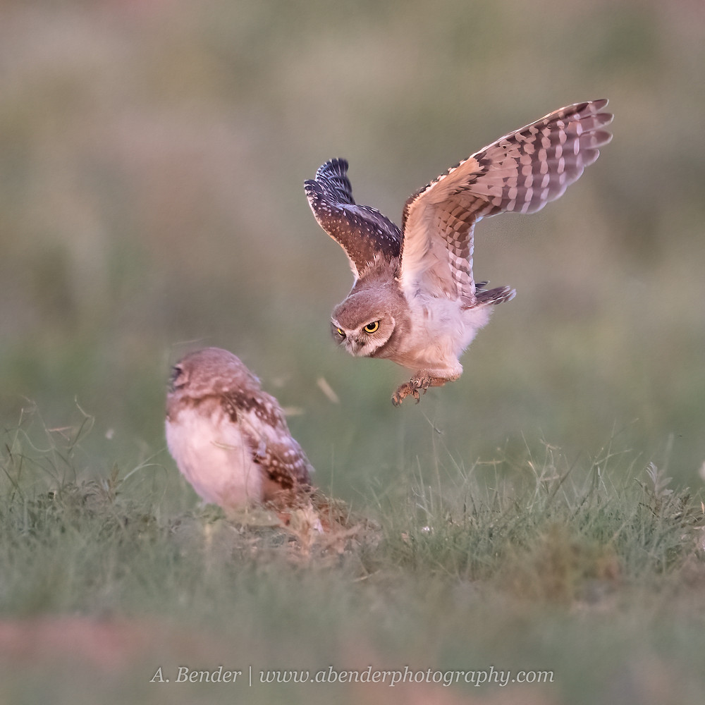 A burrowing owl fledgling practices hunting while another burrowing owl looks on at sunset in northern Texas | A Bender Photography LLC