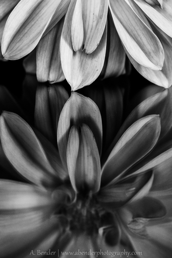 black and white image of a flower reflected in glass, a bender photography