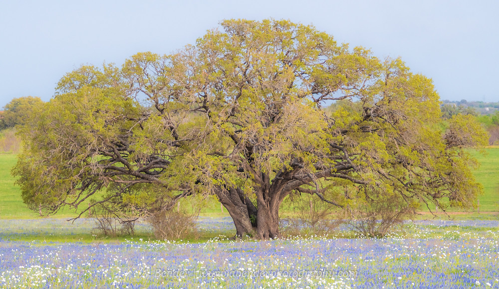Large live oak in a field of Texas bluebonnets and Mexican poppies | A Bender Photography LLC