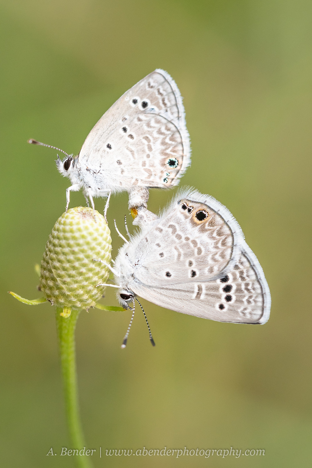 Two small white butterflies mating on a cone flower in Texas Hill Country   A Bender Photography LLC