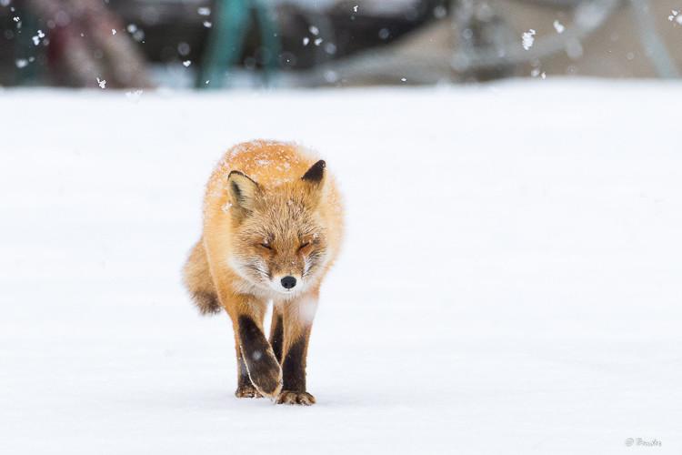 Fox patroling a seasonally abandoned homestead in snow fall