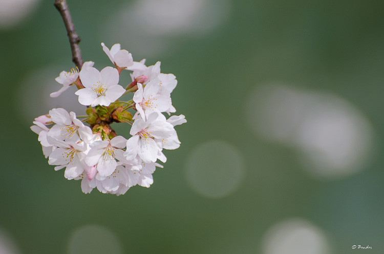 Cherry Blossom detail against green-blue mote water
